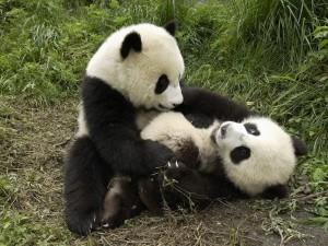 Postal: Dos pequeños osos panda juguetones