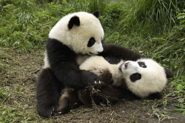 Dos pequeños osos panda juguetones