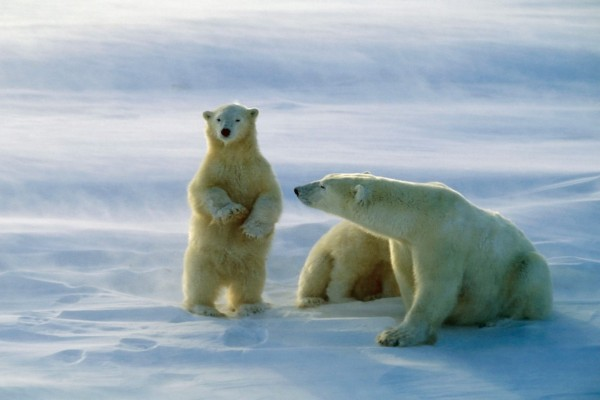 Osa polar observando a uno de sus cachorros