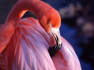 Postal: Un bello flamenco rosa