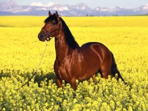 Postal: Un caballo marrón entre flores amarillas
