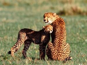 Guepardo hembra con su cachorro