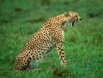 Un guepardo bostezando sobre la hierba