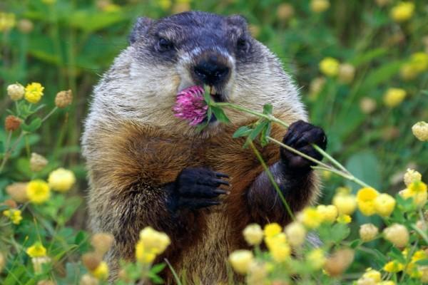 Una marmota oliendo una flor