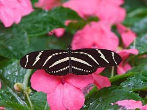 Mariposa cebra sobre una flor rosa