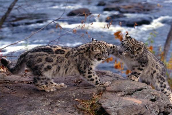 Pequeños leopardos de las nieves jugando en las rocas