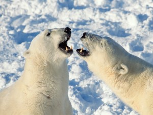 Postal: Osos polares enfrentados