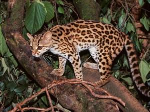 Postal: Gato tigre en un árbol