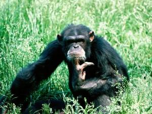 Un chimpancé pensativo