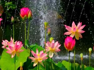 Flores de loto junto al agua