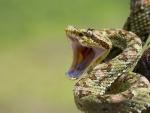 Una serpiente con la boca abierta lista para atacar a su presa