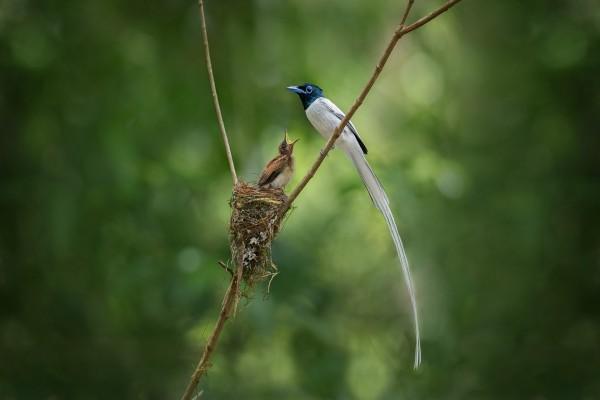 Pájaro de cola larga junto a su polluelo