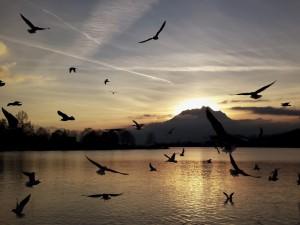 Gaviotas volando sobre el agua a la entrada del sol
