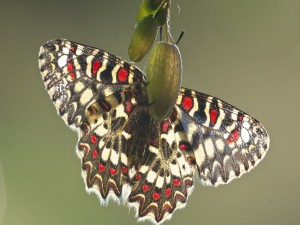 Postal: Mariposa agarrada al fruto de una planta