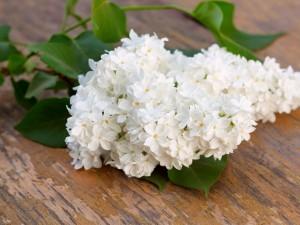 Postal: Un rama de lilas blancas