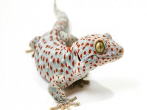 Postal: Un curioso gecko tokay