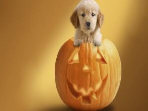Perrito dentro de una calabaza de Halloween