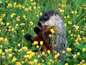 Postal: Una marmota comiendo una flor morada