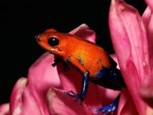 Una rana naranja y azul sobre una flor rosa