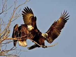 Postal: Dos águilas en la misma rama