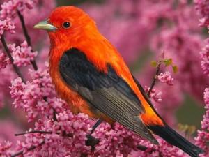 Postal: Tángara rojinegra migratoria sobre un árbol con flores rosas