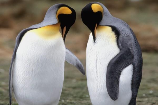 Dos pingüinos rey