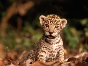 Un cachorro de jaguar