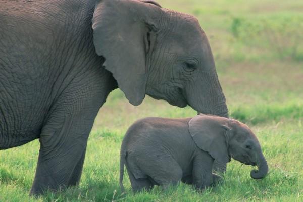 Un pequeño elefante comiendo hierba junto a su madre