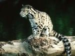 Una joven pantera nebulosa sobre un tronco