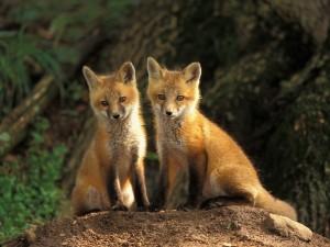 Dos jóvenes zorros rojos
