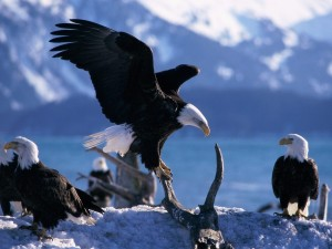 Postal: Un grupo de águilas calvas