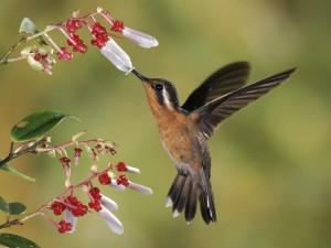 Colibrí libando de una curiosa florecilla