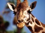 La cara de una jirafa