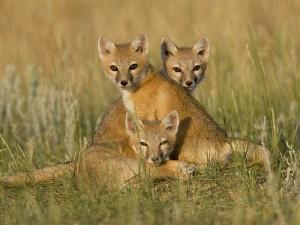 Postal: Tres zorros en la hierba