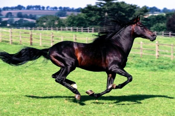 Un hermoso caballo español corriendo en la hierba