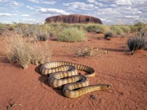 Postal: Pitón en el parque nacional Uluru-Kata Tjuta (Australia)