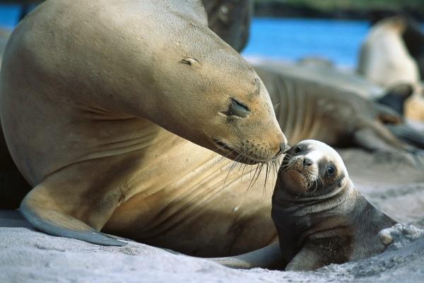 León marino con su pequeña cría