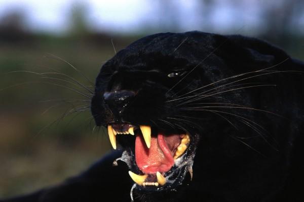 Pantera negra enfurecida