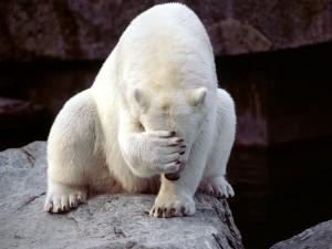 Postal: Oso polar tapándose la cara con la zarpa