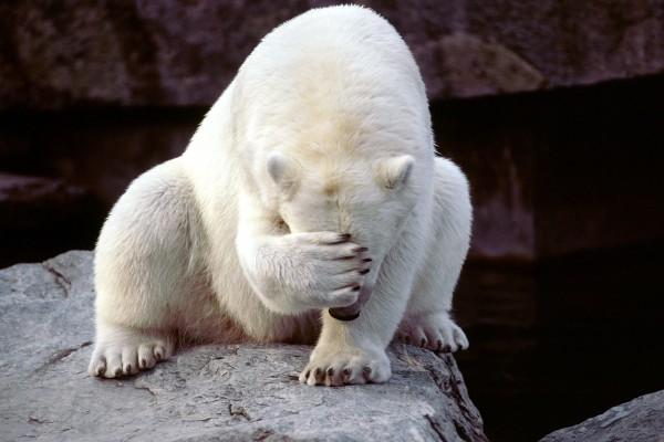 Oso polar tapándose la cara con la zarpa