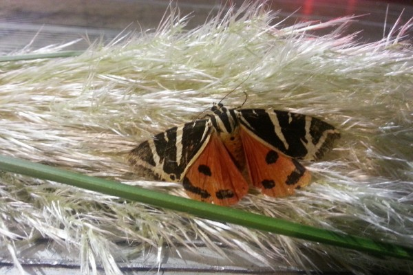 Mariposa en una planta cola de zorro