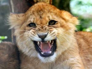 Postal: Cachorro de león rugiendo