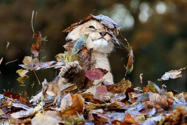 Cachorro de león jugando entre las hojas otoñales