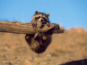 Postal: Pequeño mapache agarrado a un tronco