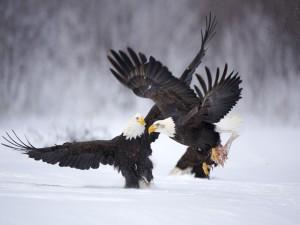 Dos águilas peleando en la nieve