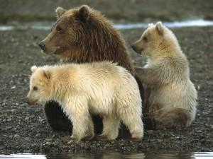 Postal: Osa y oseznos en Alaska