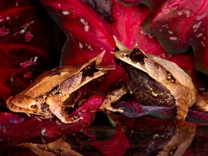 Ranas hoja de Malasia (Megophrys nasuta)