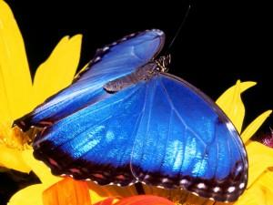 Postal: Gran mariposa azul sobre una flor amarilla