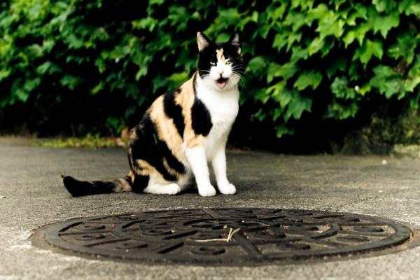 Un bonito gato de ojos verdes maullando junto a una alcantarilla