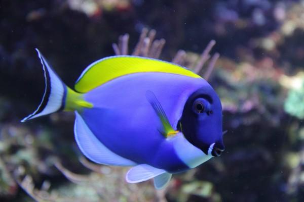 Un bonito pez azul y amarillo